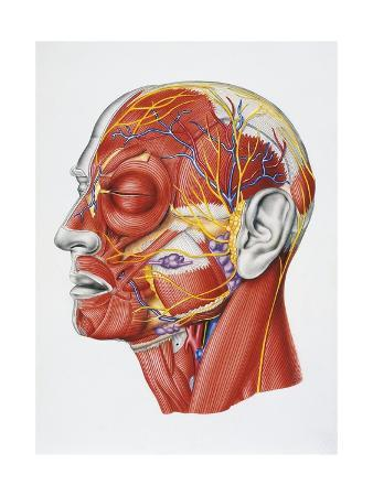 Illustration Showing Muscular System of Human Head