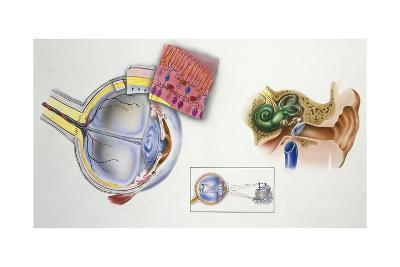 Illustration Showing Cross Section of Human Eye and Ear
