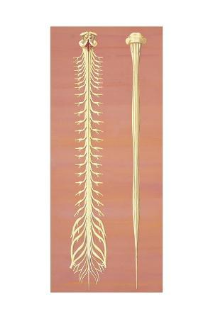 Illustration of Spinal Cord