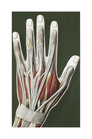 Illustration of Human Hand Muscles