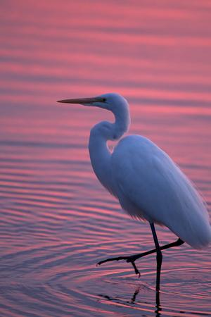 Portrait of a Great Egret, Ardea Alba, Walking the Shore at Sunset