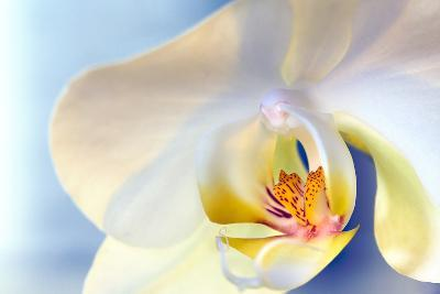 Abstract Close Up of a White Moth Or Phalaenopsis Orchid Flower