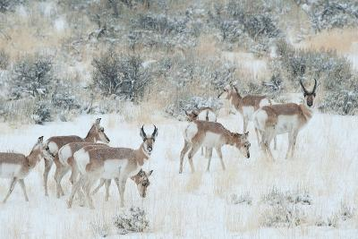 Pronghorns, Antilocapra Americana, Foraging During a Snowstorm