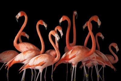 A Group of American Flamingos, Phoenicopterus Ruber