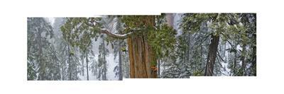 A Team of Scientists Measure a Giant Sequoia