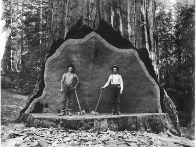 A Giant Sequoia Felled by Loggers in the Early 1900's