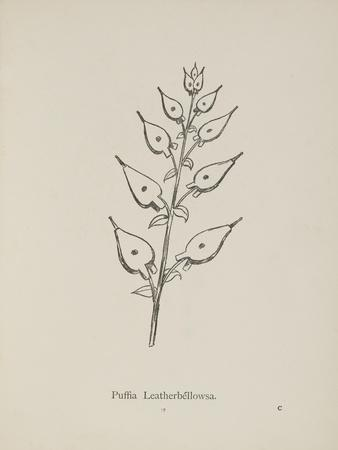 Puffia Leatherbellowsa. Illustration From Nonsense Botany by Edward Lear, Published in 1889.
