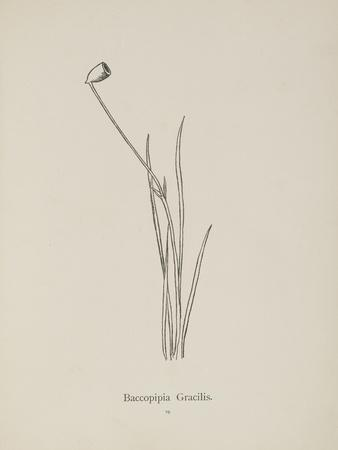Baccopipia Gracilis. Illustration From Nonsense Botany by Edward Lear, Published in 1889.