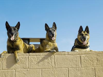 German Shephard Military Working Dogs Take a Rest