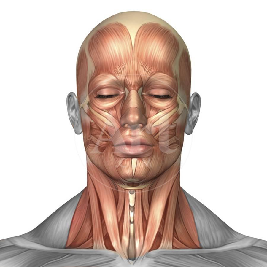Anatomy Of Human Face And Neck Muscles Front View Photographic