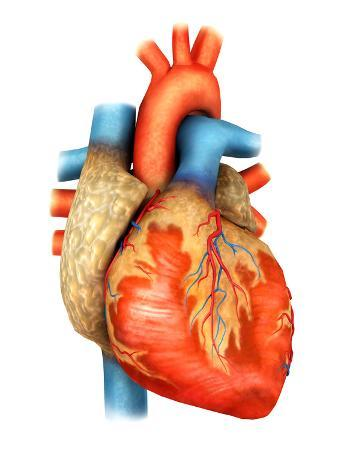 Front View of Human Heart