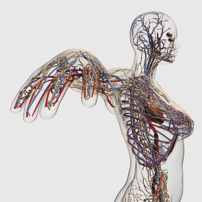 Medical Illustration of Arteries, Veins And Lymphatic System in Female Chest Area