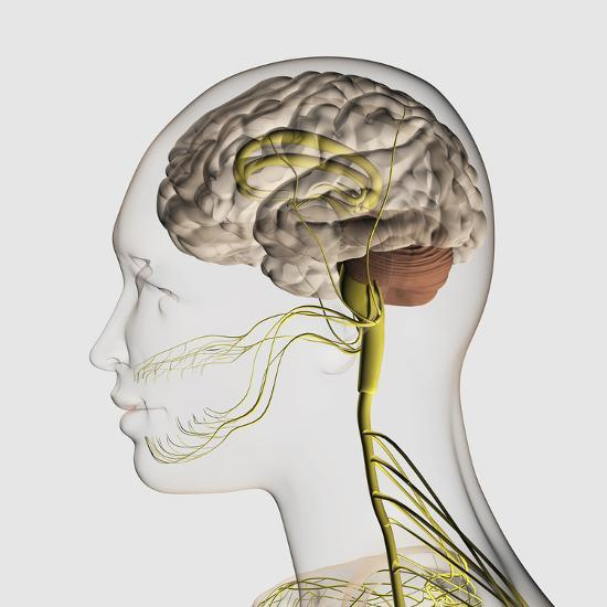'Medical Illustration of the Human Nervous System And ...