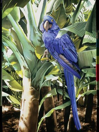 Hyacinth Macaw, 1992