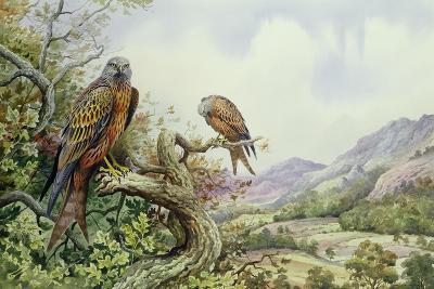 Pair of Red Kites in an Oak Tree