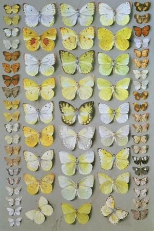Papuan Butterflies 1, 1917-18
