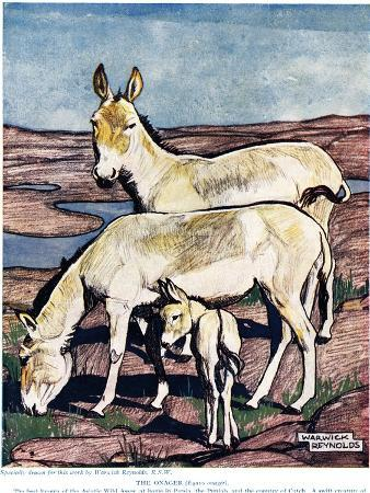 The Onager, from 'The New Natural History', by John Arthur Thompson (1861-1