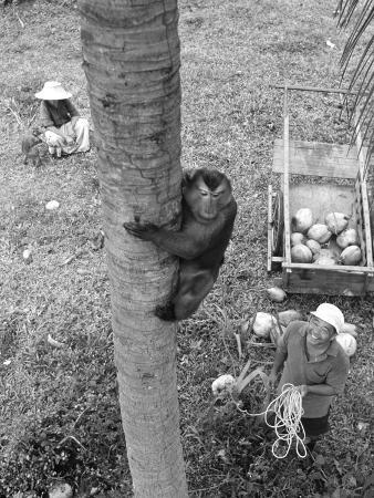 Monkey Collecting Coconuts, 1980