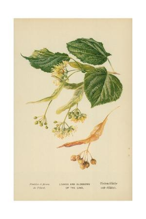 Leaves and Blossoms of the Lime