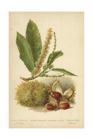 Sweet Chestnut, Blossom and Fruit