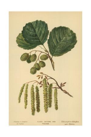 Alder, Catkins and Foliage