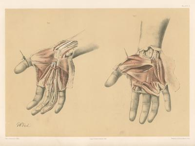 The Upper Limb. Superficial and Deep Views of the Palm of the Hand