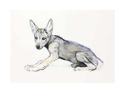 Adolescent Arabian Wolf Pup, 2009