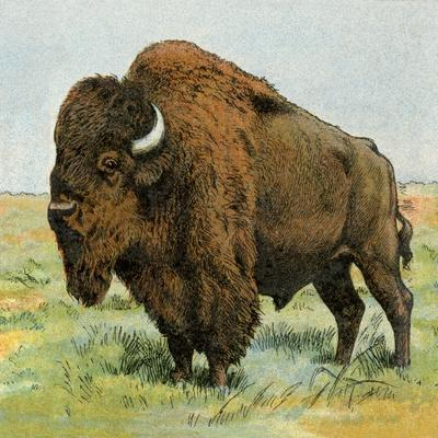 North American Bison on the Great Plains