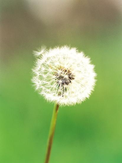 Dandelion Seeds Close Up View Photographic Print At