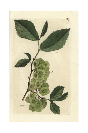 "Field Elm Tree, Ulmus Campestris, From Pierre Bulliard's ""Flora Parisiensis,"" 1776, Paris"