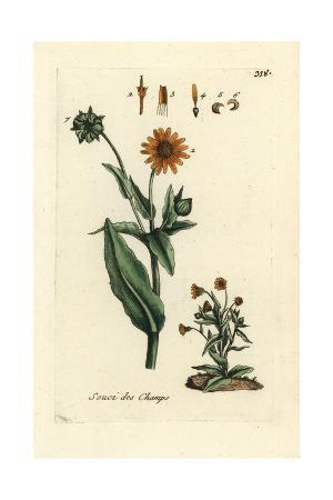 "Field Marigold, Calendula Arvensis, From Pierre Bulliard's ""Flora Parisiensis,"" 1776, Paris"