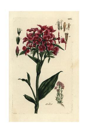 """Sweet William, Dianthus Barbatus, From Pierre Bulliard's """"Flora Parisiensis,"""" 1776, Paris"""