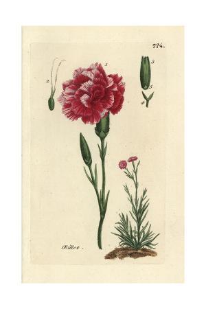 "Carnation, Dianthus Caryophyllus, From Pierre Bulliard's ""Flora Parisiensis,"" 1776, Paris"