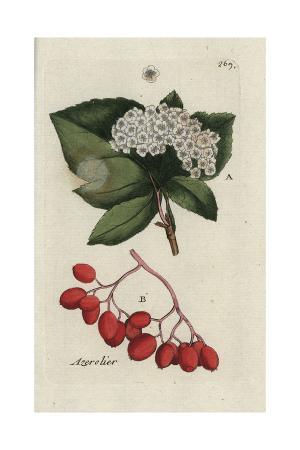 "Azarole Tree, Crataegus Azarolus, From Pierre Bulliard's ""Flora Parisiensis,"" 1776, Paris"