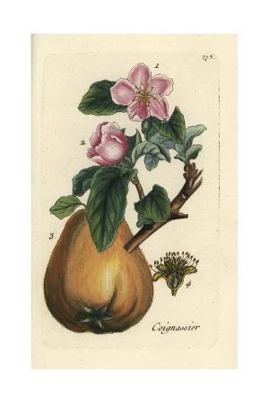 "Quince, Pyrus Cydonia, From Pierre Bulliard's ""Flora Parisiensis,"" 1776, Paris"