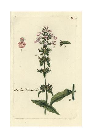 """Marsh Woundwort, Stachys Palustris, From Pierre Bulliard's """"Flora Parisiensis,"""" 1776, Paris"""