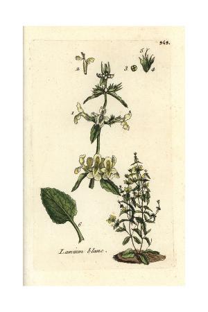 "Downy Woundwort, Stachys Germanica, From Pierre Bulliard's ""Flora Parisiensis,"" 1776, Paris"