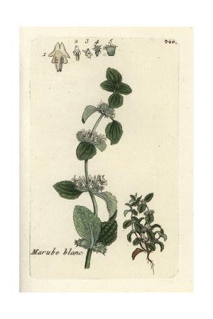 """White Horehound, Marrubium Vulgare, From Pierre Bulliard's """"Flora Parisiensis,"""" 1776, Paris"""