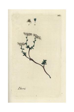 """Annual Candytuft, Iberis Saxatilis, From Pierre Bulliard's """"Flora Parisiensis,"""" 1776, Paris"""