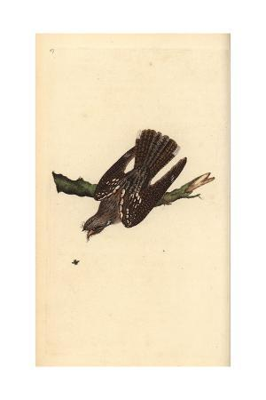 Nightjar From Edward Donovan's Natural History of British Birds, London, 1799