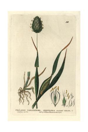 Canary Grass, Phalaris Canariensis, From William Baxter's British Phaenogamous Botany, 1834