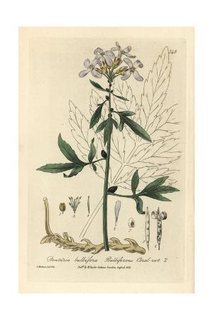 Bulbiferous Coral Root, Dentaria Bulbifera, From W. Baxter's British Phaenogamous Botany, 1835
