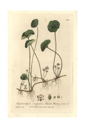 Marsh Pennywort, Hydrocotyle Vulgaris, From William Baxter's British Phaenogamous Botany, 1835