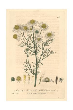 Wild Chamomile, Matricaria Chamomilla, From William Baxter's British Phaenogamous Botany, 1839