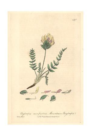 Mountain Oxytrophis, Oxytrophis Campestris, From W. Baxter's British Phaenogamous Botany, 1842