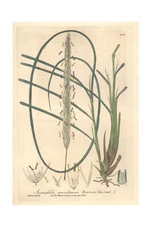 Sea Reed, Ammophila Arundinacea, From William Baxter's British Phaenogamous Botany, Oxford, 1841