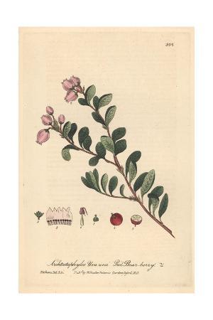 Red Bear-berry, Arctostaphylos Uva Ursi, From William Baxter's British Phaenogamous Botany, 1843