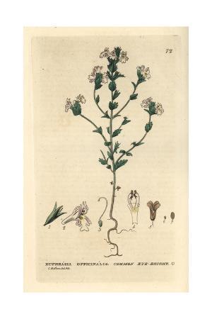 Common Eye-bright, Euphrasia Officinalis, From William Baxter's British Phaenogamous Botany, 1834