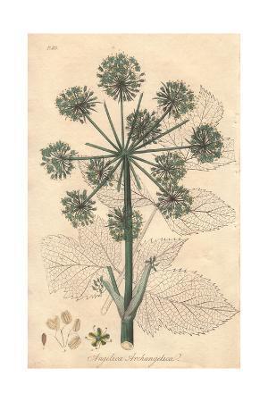 Wild Celery, Angelica Archangelica