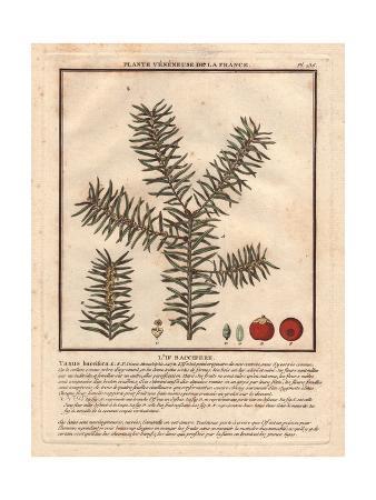 Common Yew Tree, Taxus Baccifera